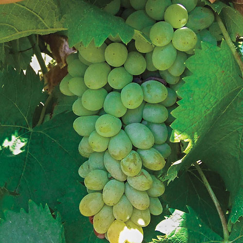 Neptune Seedless Grape Vine