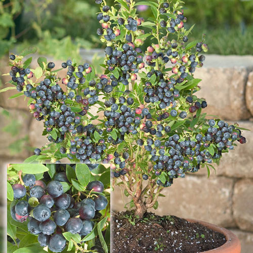 Dwarf Northsky Half-High Blueberry Plant