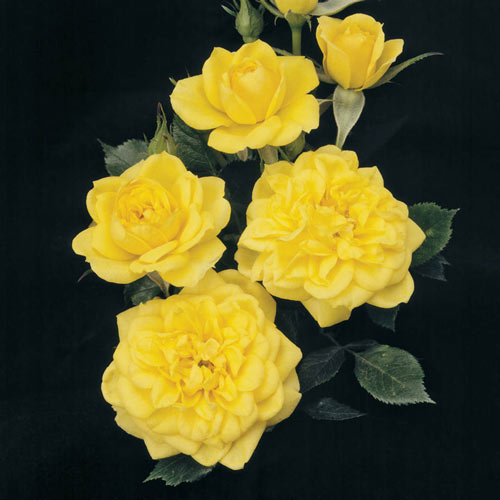 Lemon Drop Miniature Rose