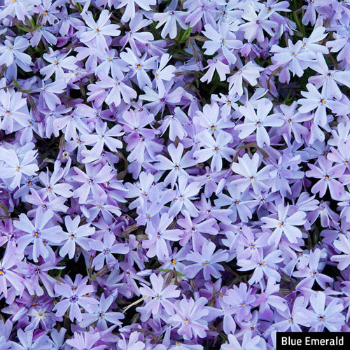 Blue Emerald Creeping Phlox