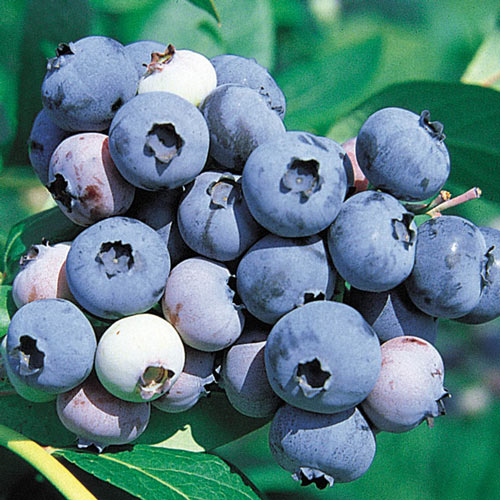 Jersey Northern Highbush Blueberry