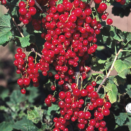 Red Lake Currant Tree