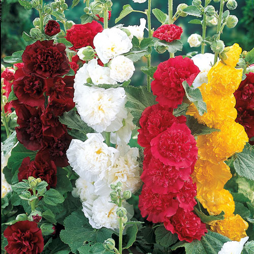 Double Hollyhock Plant