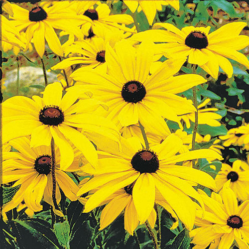 Black-Eyed Susan Plant
