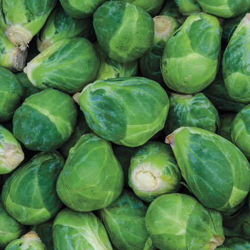 Churchill Hybrid Brussels Sprouts Seed