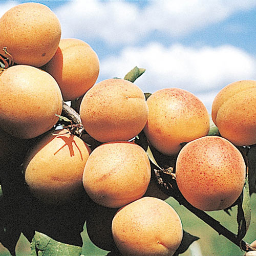 Manchurian Bush Apricot Tree