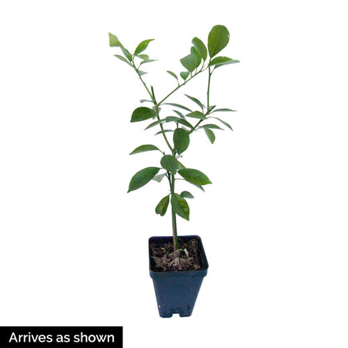 Dwarf Meyer Lemon Plant