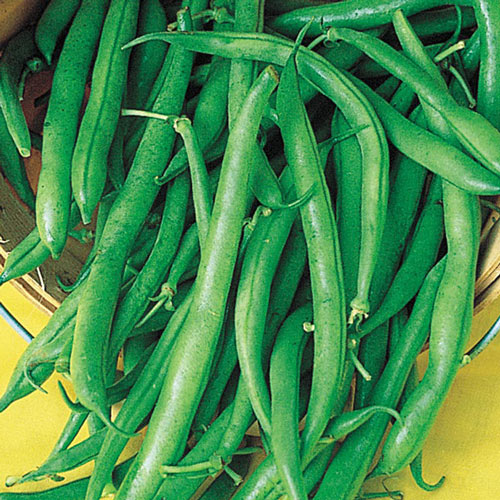 Blue Lake Pole Bean Seed
