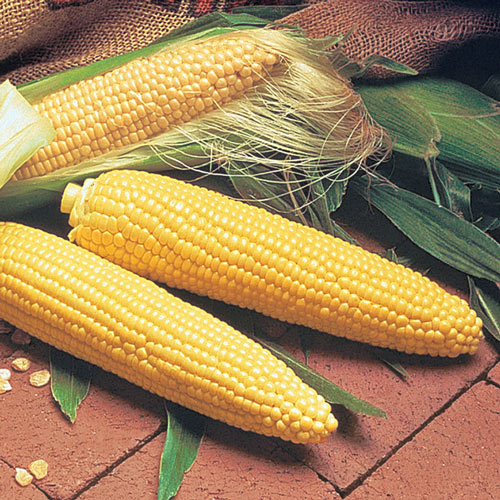 Double Delicious Hybrid Sweet Corn (se)