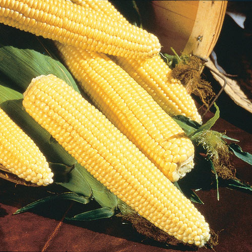 Northern Yellow Xtra-Sweet Hybrid Sweet Corn Seed (sh2)