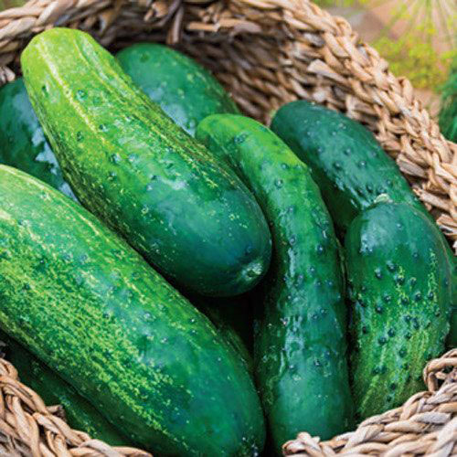 County Fair Improved Hybrid Cucumber Seed