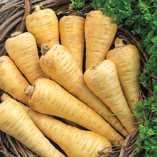 All American Parsnip Seed