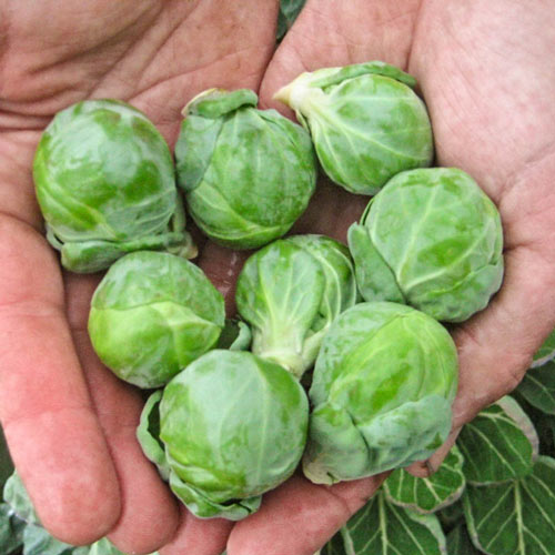 Hestia Hybrid Brussels Sprouts Seed