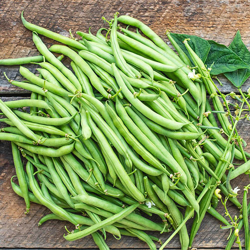 Cantare Bush Bean