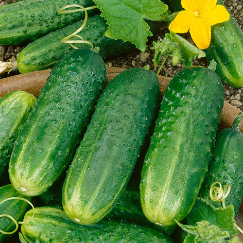 Pic-A-Little Pickling Cucumber Seed