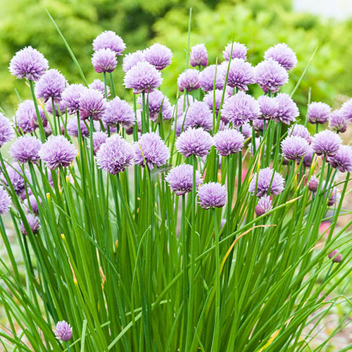 Chive Herb — Plant