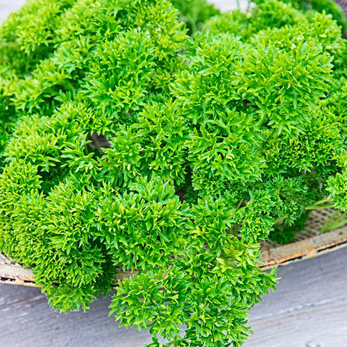 Curled Parsley Herb — Plant
