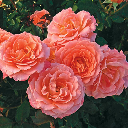 Jump for Joy Floribunda Rose
