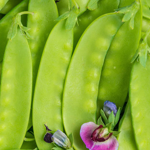 Green Beauty Snow Pea - Untreated