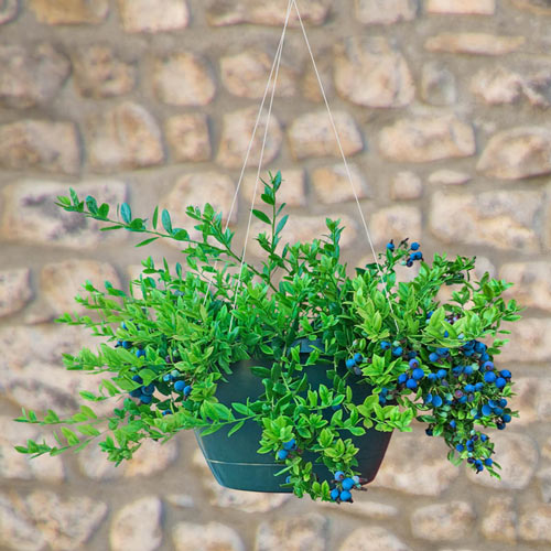 Midnight Cascade™ Hanging Basket Blueberry Plant