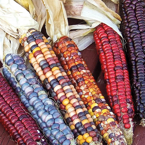 Painted Mountain Ornamental Corn