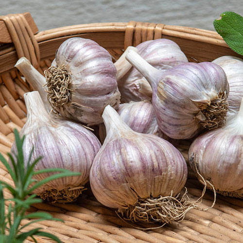 Deerfield Purple Hardneck Garlic