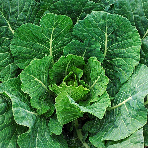 Tiger Hybrid Collards Seed