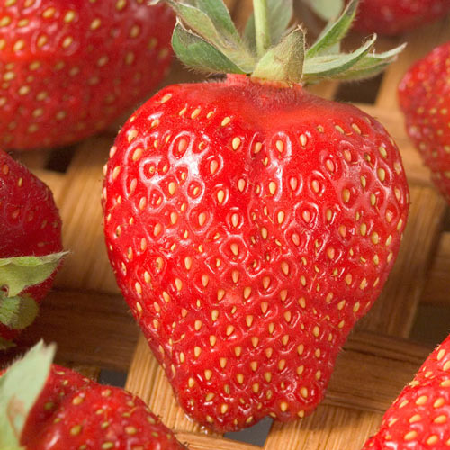 Winona Giant Junebearing Strawberry