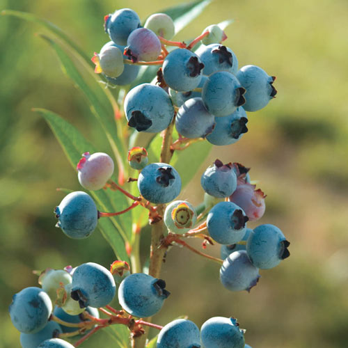 Healthy Rubel Blueberry