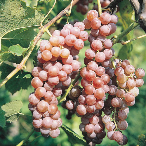 Red Canadice Seedless Grape Vine