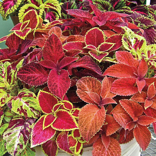 Wizard Mix Coleus Seed