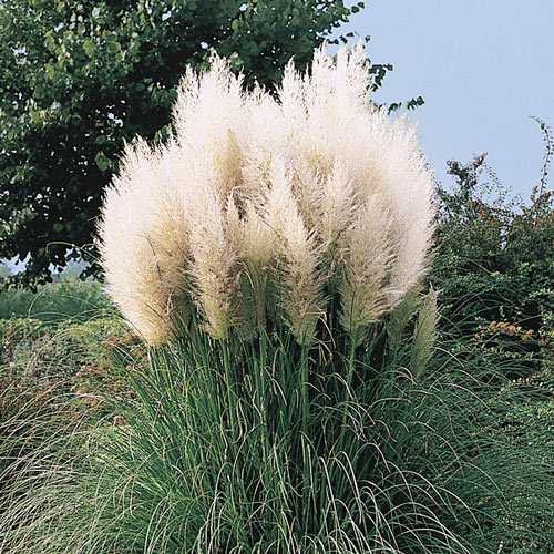 White Pampas Grass Plant