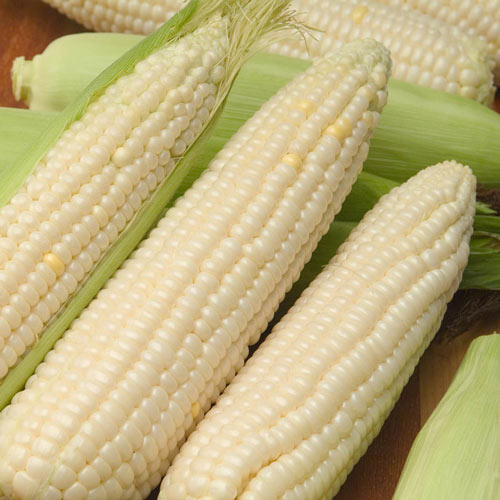 Cloud Nine (se) Hybrid Sweet Corn