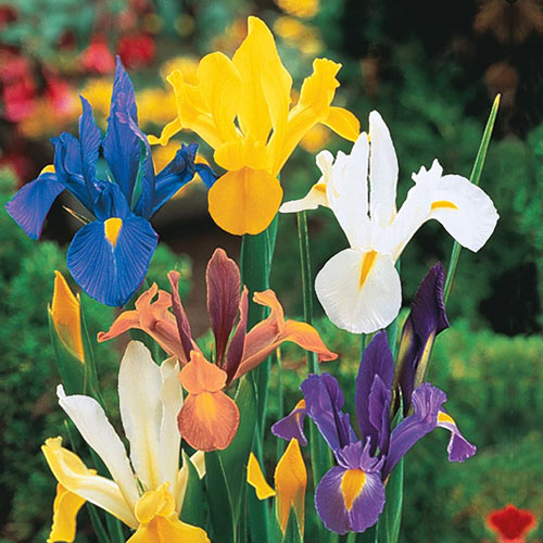 Mixed Dutch Iris Rhizomes