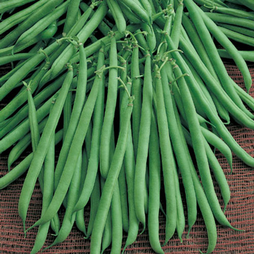 Flavor Sweet Bush Bean Seed
