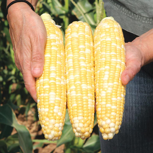 Gotta Have It<sup>®</sup> Hybrid Sweet Corn