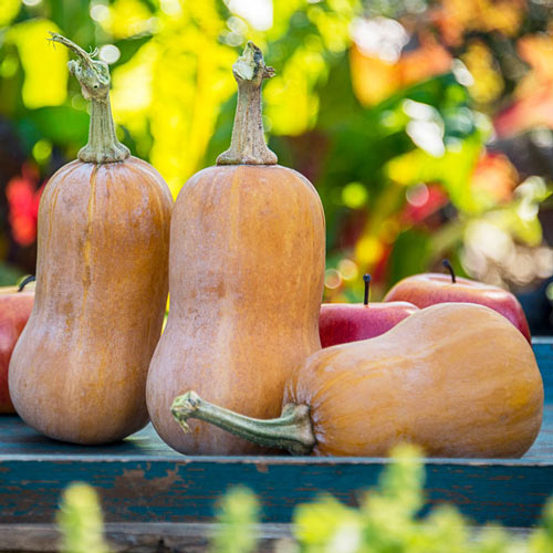 Honeynut Winter Squash Seed