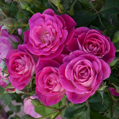 Easy To Please™ Floribunda Rose