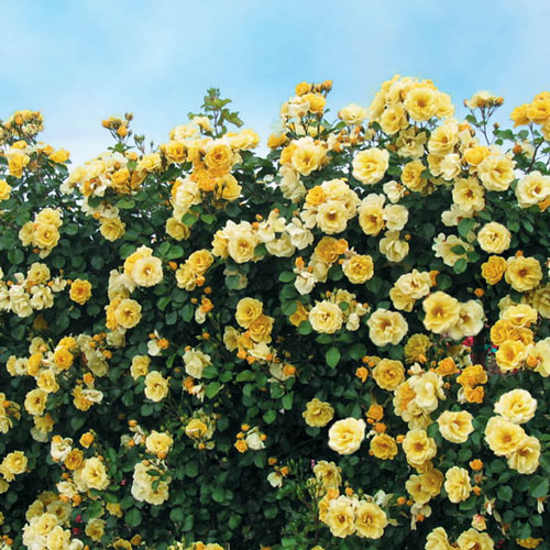 Sky's the Limit™ Climbing Rose Plant