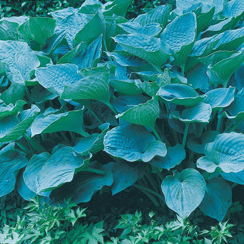 Colossal Blue Hosta Plant