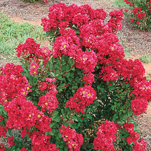 Enduring Summer Reblooming Crape Myrtle - Red