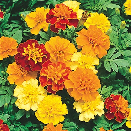 Boy O' Boy Marigold Seed Mix