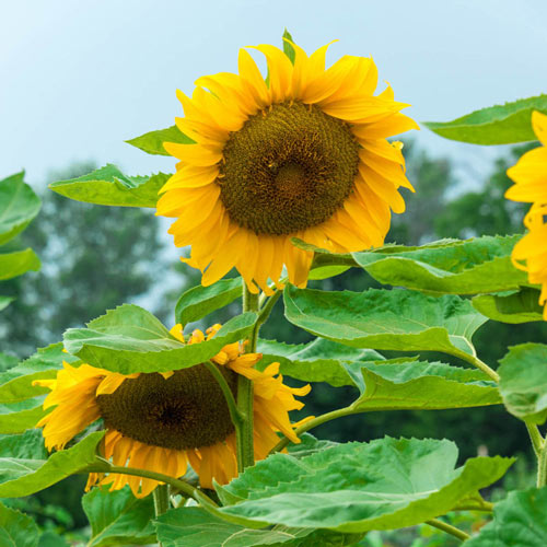 Super Snack Sunflower