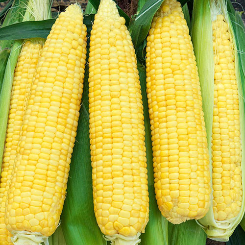 Inferno Hybrid Sweet Corn Seed (sy)