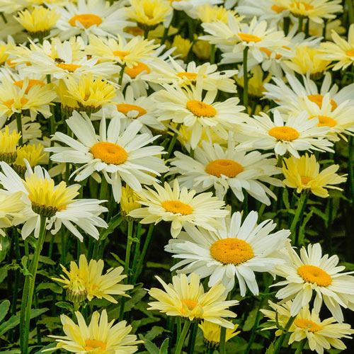 Broadway Lights Shasta Daisy