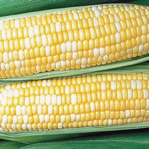 Honey 'n Pearl Hybrid Sweet Corn (sh2)