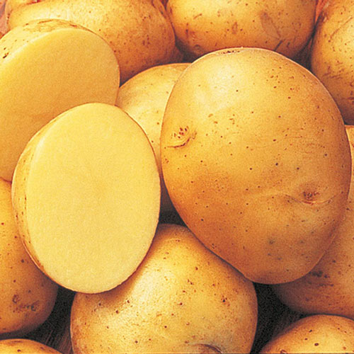 Yukon Gold Potato