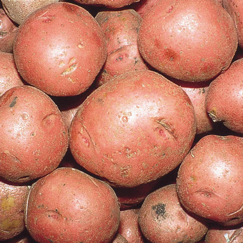 Red Norland Potato