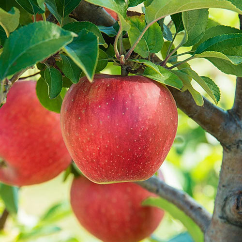 Baker's Delight™ Apple Tree