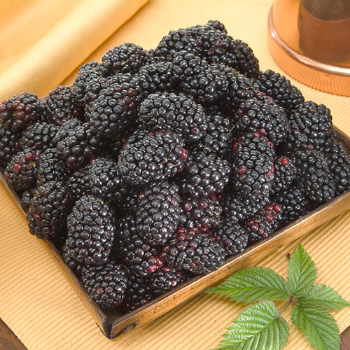 Columbia Giant Thornless Blackberry